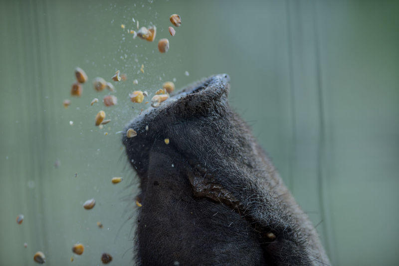 Cropped image of wild boar eating corns