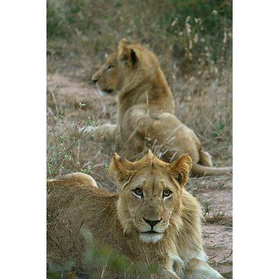 Young brothers. Lions . Africanamazing Natureaddict Animalsaddict Squaredroid @Animals Wildlife Igersmp Africa Multi_animals_in_nature