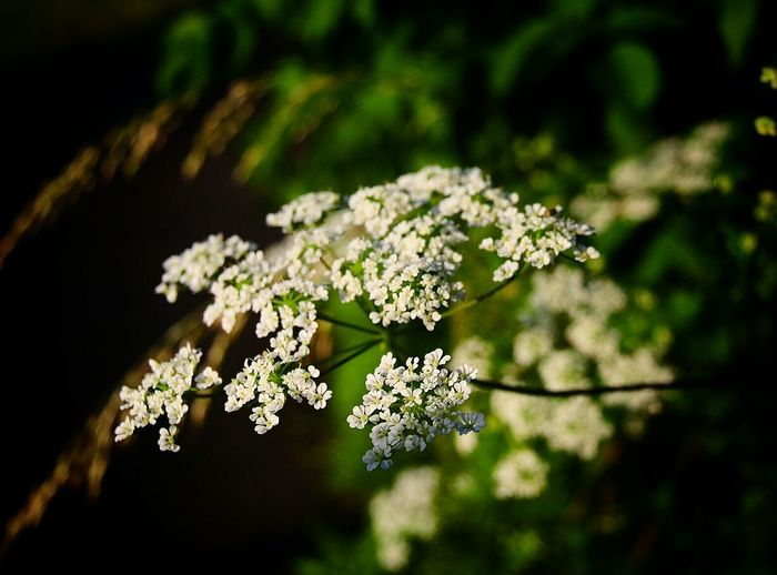 High angle view of cow parsnip blooming outdoors