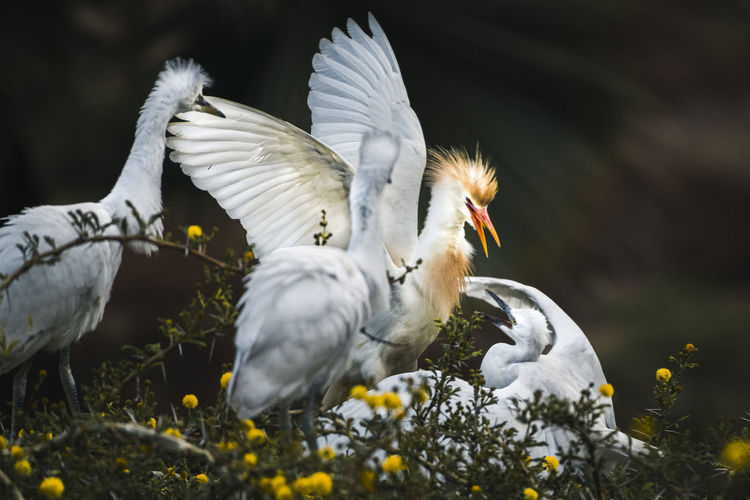 Trade war,  the cattle egret fights with three snowy egrets