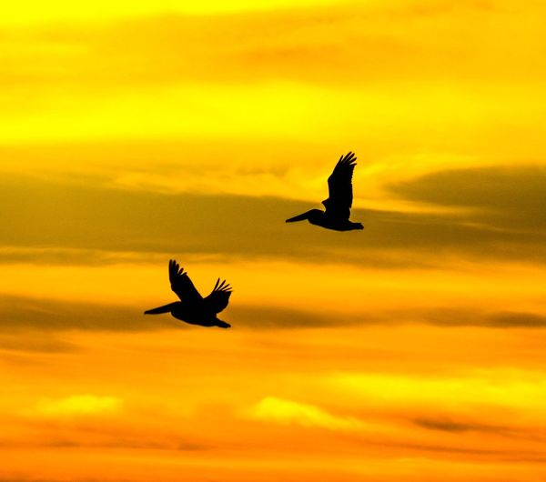 Low angle view of silhouette birds flying against orange sky