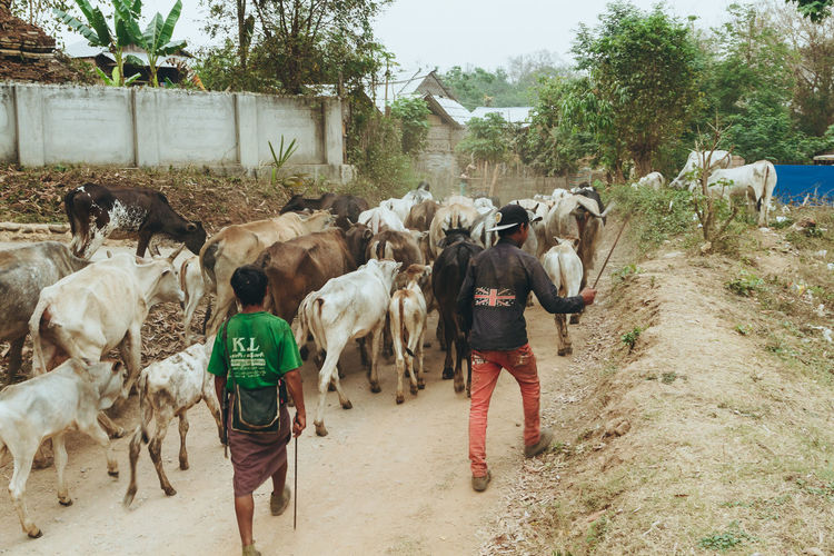 Teens herd cattle down a dusty road. - IG @LostBoyMemoirs (Photos taken on Canon 650D Rebel T4i, edited in Lightroom.) People People Watching People Photography Streetwise Photography Street Photography ASIA Myanmar Burma Myanmar Culture Myanmarphotos Adventure Backpacking Culture And Tradition Cultures Exploration Travel Destinations Agriculture Farming Real Life Animals Water Buffalo Mammal Domestic Animals Group Of Animals Animal Themes Domestic Pets Rear View Animal Livestock Vertebrate Real People Cattle Walking Road Nature Tree Large Group Of Animals Day Plant Domestic Cattle Outdoors Herbivorous Herd The Art Of Street Photography