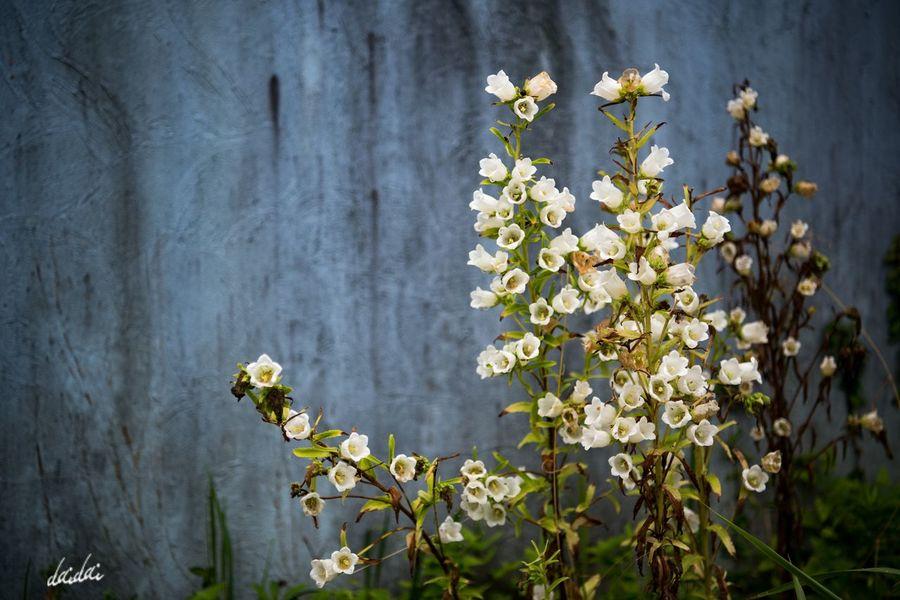 絵画のような D750 Lightroom Edit Fukuokadeeps 海の中道海浜公園 花 Flower Flowerporn Flower Head Plant Petal Beauty In Nature White White Color Outdoors Bokeh No People