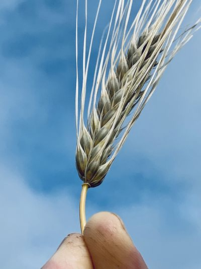 Close-up of hand holding wheat stalk against sky