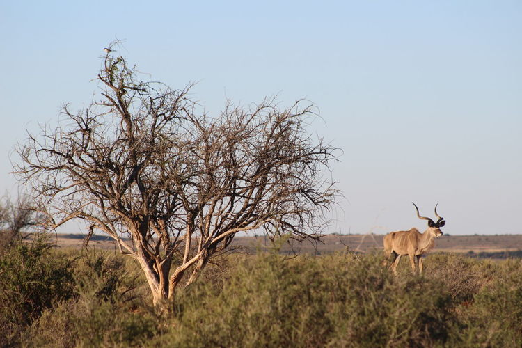 Animal Themes Bare Tree Beauty In Nature Field Grass Grassy Grazing Herbivorous Horned Kalahari Kudu Kudu Horn Landscape Mammal Nature Outdoors Scenics Tranquil Scene Tranquility Tree Still Life