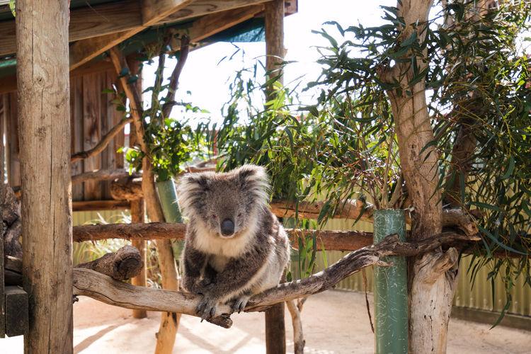 Koala on wooden structure in zoo