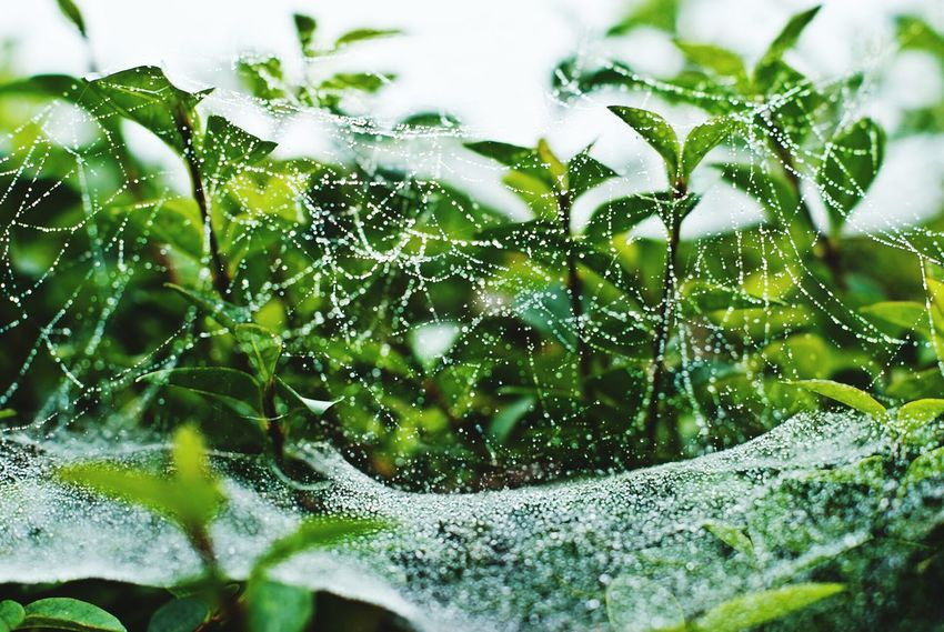 Raindrops On Spider Web 🌧💧🕸 Spider Web Nature Web No People Water Close-up Drop Day Outdoors Green Color Fragility Beauty In Nature Freshness Animal Themes Water In Web A Different World Beauty In Nature Macro Nature Green Color Freshness Different Perspective Raindrops Dew Drops Perspectives On Nature