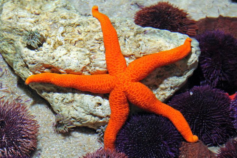 Orange Starfish Anenomes Creatures Rock Animal Aquarium Coral Coral Reef Ecosystem  Fish Invertebrate Live Rock Marine Marinelife Ocean Orange Color Reef Rock Pool Sand Sea Sea Life Seacreatures Starfish  UnderSea Underwater Water