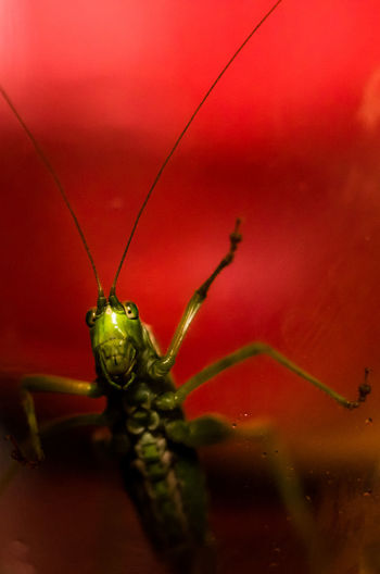 Cricket under glass. Bug Macro Photography Sigma 50mm 1.4 DG HSM Art Close-up Entemology Insect Nature Red Selective Focus