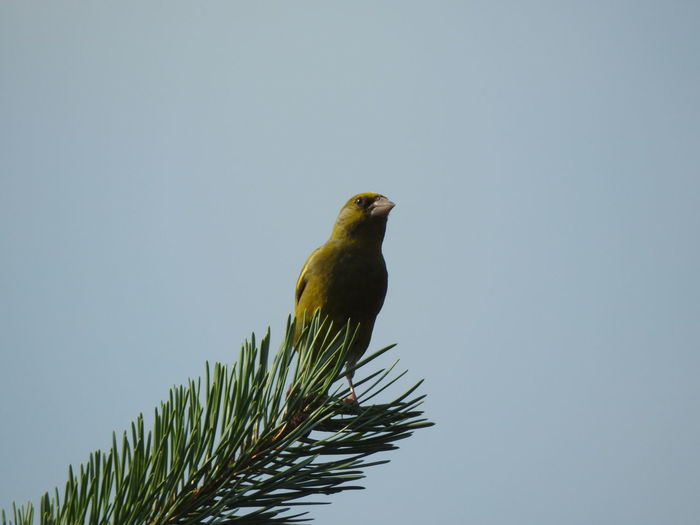 Greenfinch in
