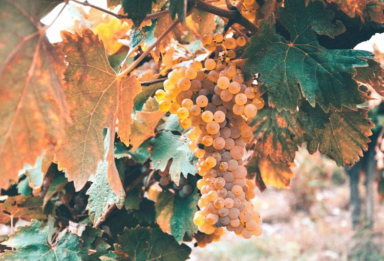 Grapes Grapes 🍇 Grapes Nature Photography Food And Drink Fruits Fruit Autumn colors Vineyard Vine - Plant Vines Tree Leaf Autumn Change Close-up Leaf Vein Leaves Autumn Collection Plant Life Full Frame Growing Fallen Backgrounds Textured  Maple Tree Fall Natural Pattern