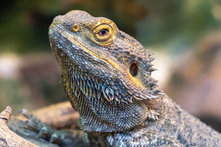 Head shot of a central bearded dragon  in captivity