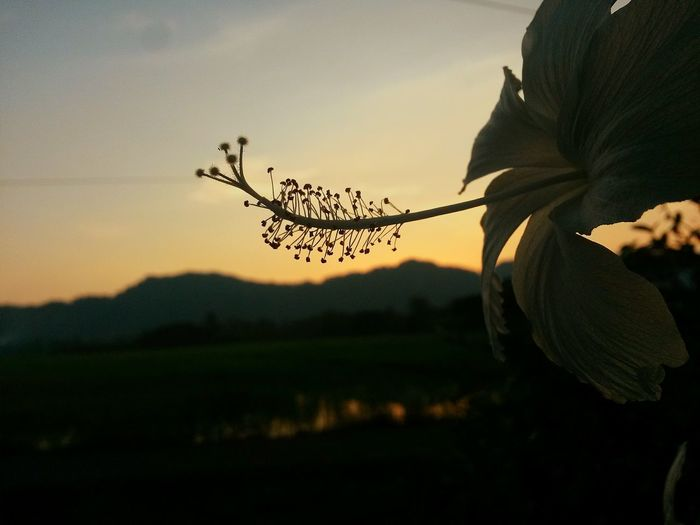 During this summer I just enjoying taking pictures around my village and edit pictures and videos. I just really love my hobby ❤ Live For The Story Sunset Flower Sky Close-up Outdoors Landscape Bokeh Malaysianationalflower White Flowers No Red Paddy Field