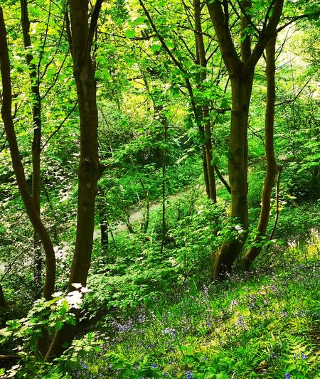 Through the trees Huawei P20 Pro Photography Huawei P20 Pro Bluebells Forest Nature Nature Photography EyeEm Nature Lover EyeEm Gallery Urbanphotography EyeEm Best Shots Urban EyeEm Tree Branch Forest Leaf Tree Trunk Green Color Lush Foliage Woods Sunrays Dense Fern Greenery Growing Tree Canopy  Countryside Blooming Green Plant Life