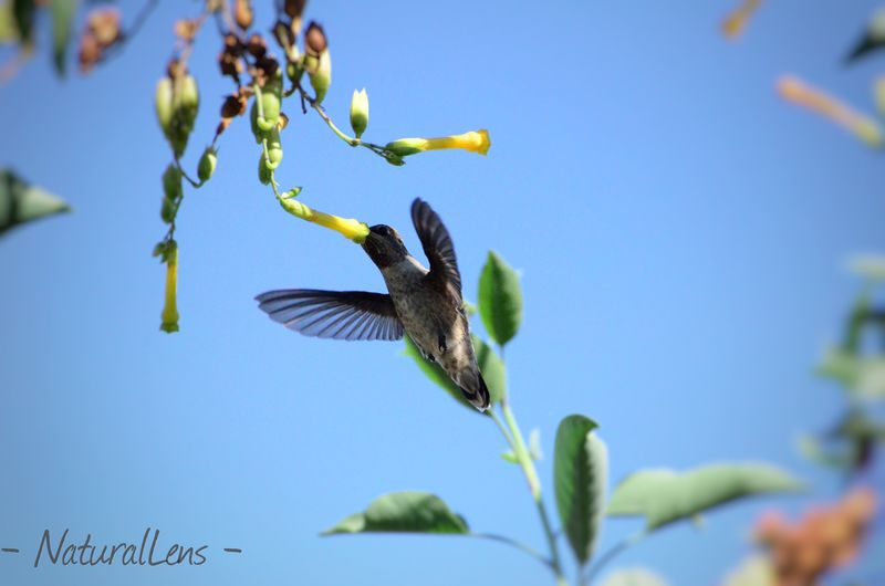 Gathering the essence of labor. 🐦🐤 Humingbird EyeEm Birds Humingbird #hungergame Nikon Perfection Cometome California