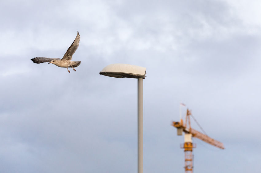 Young seagull takes off from a street lamp with a crane in the background City Dramatic Sky Moody Sky Street Light Animal Themes Animal Wildlife Animals In The Wild Bird Cloud - Sky Construction Industry Crane - Construction Machinery Day Electric Lamp Flying Low Angle View Mid-air Nature No People One Animal Outdoors Seagull Sky Spread Wings Taking Off - Activity Young Bird