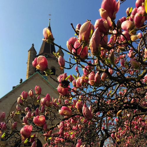 Tree Low Angle View Magnolia Tree Blossom Church Architecture Springtime Sky No People Day Branch