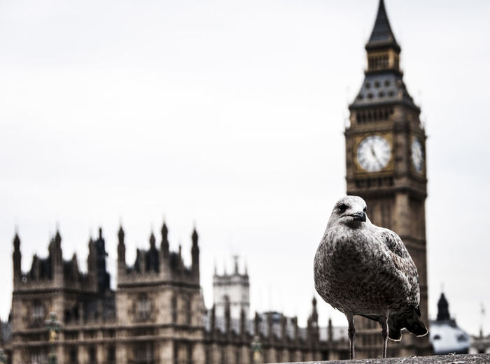 Close-up of gray seagull perching on wall against big ben