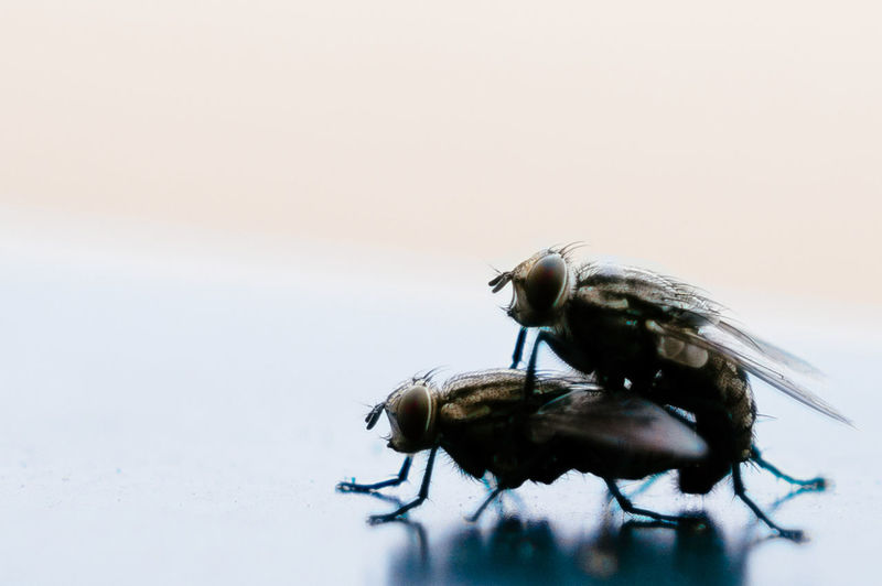Close-up of houseflies mating on table