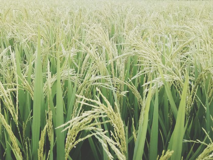 Growth Agriculture Field Crop  Farm Cereal Plant Nature Green Color Plant Rural Scene Beauty In Nature Day Wheat Outdoors Full Frame Ear Of Wheat Grass Tranquility No People Backgrounds