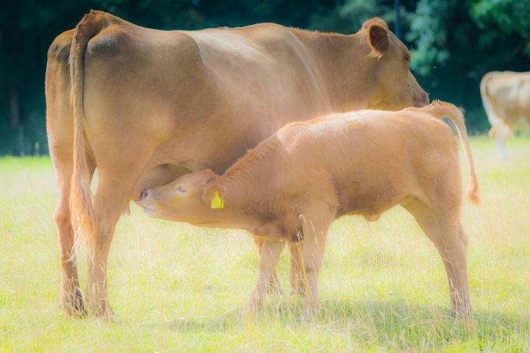 Cow feeding calf