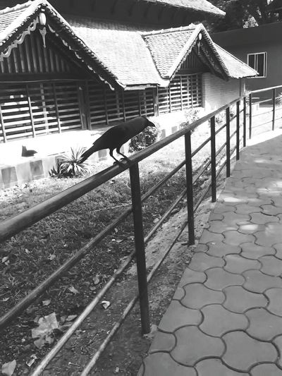 Crow Blackandwhite Black Flight Beakingbad Beak Beak And Feathers Feathers Of A Bird Feathered Friends Birdphotography Bird On A Fence Outdoor Pictures Nature