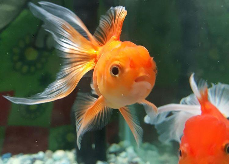 EyeEm Nature Lover Eye4photography  EyeEm Gallery Eyemphotography EyeEm Fantail Fish Red Fish Fish Photography GoldFish! Goldfish Aquarium Fish Eyeem Photography EyeEm Animal Lover Animal_collection