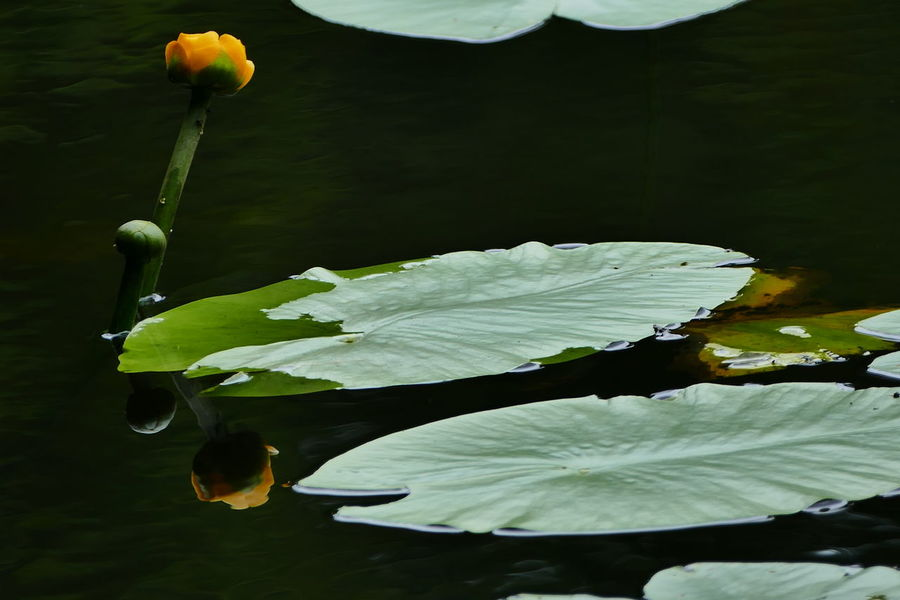 Beauty In Nature Blooming Close-up Day Floating On Water Flower Flower Head Fragility Freshness Green Color Growing Growth Lake Leaf Nature No People Outdoors Petal Plant Pond Reflection Fine Art Photography Showcase June Water Water Lily TCPM Perspectives On Nature
