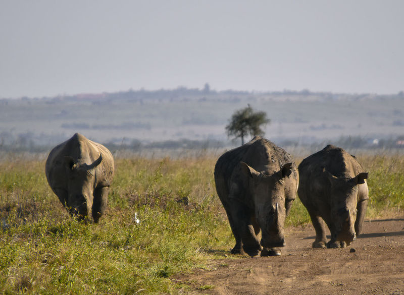 Long Walk Endangered Species Family Ivory Walk Animal Themes Animal Wildlife Animals In The Wild Beauty In Nature Bird Day Egret Field Grass Horn Journey Landscape Mammal Nature No People Outdoors Rhino Rhinos Safari Animals Sky