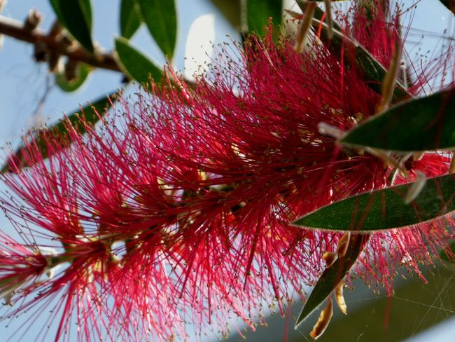 Callistemon Bottlebrush Flower Red Colour Growth Nature Plant No People Beauty In Nature Close-up Vibrant Colour EyeEm Nature Lover Make EyeEm A Troll-Free Zone! Live For The Story