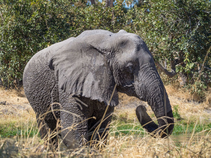 Close-up of male african elephant, moremi game reserve, botswana