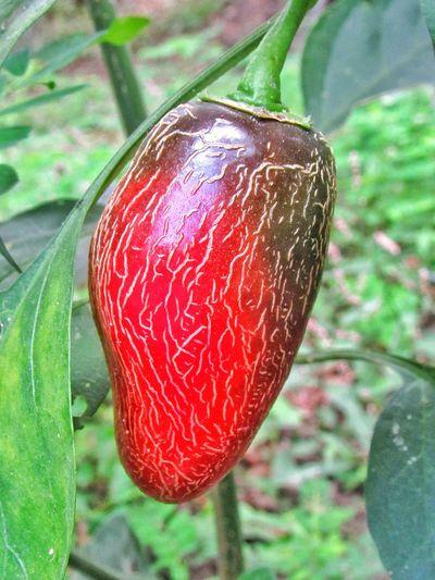 red pepper Hot