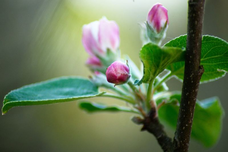 Apfelblüte Plant Flowering Plant Flower Close-up Growth Freshness Beauty In Nature Nature No People Vulnerability  Selective Focus Pink Color Fragility Leaf Green Color