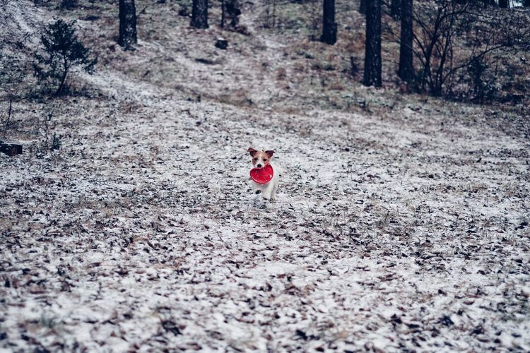 Running Jack Russell terrier with a frisbee on the first snow this year. Frisbee Dog Winter Running Dog Jack Russell Terrier Jack Russell Jrt Nature Animal Themes One Animal Pets Dog Outdoors Day