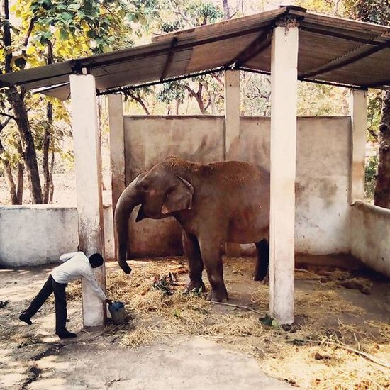 Even the strongest of men forget their strength in front of this creature. 🐘 Baby Asianelephant Drinking Water Caretaker Shade Raw Nature Earth Jungles Travelgram Madhyapradesh Incredibleindia Wildlife Wild but Gentle Adorable Smart Giant Strength LordGanesha Hindu Mythology Instagood Instaanimal