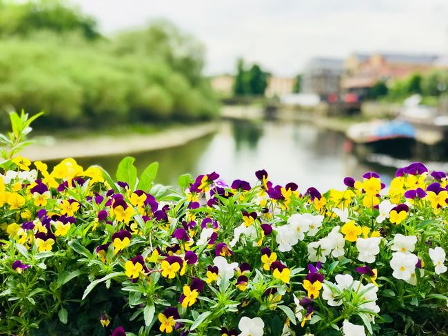 London Thames Plant Flower Flowering Plant Growth Focus On Foreground Vulnerability  Fragility Plant Part Outdoors Flower Head Close-up Freshness Water Green Color Beauty In Nature River Nature Day No People Leaf
