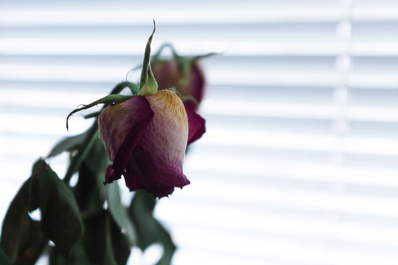 Close-up of rose against window blinds