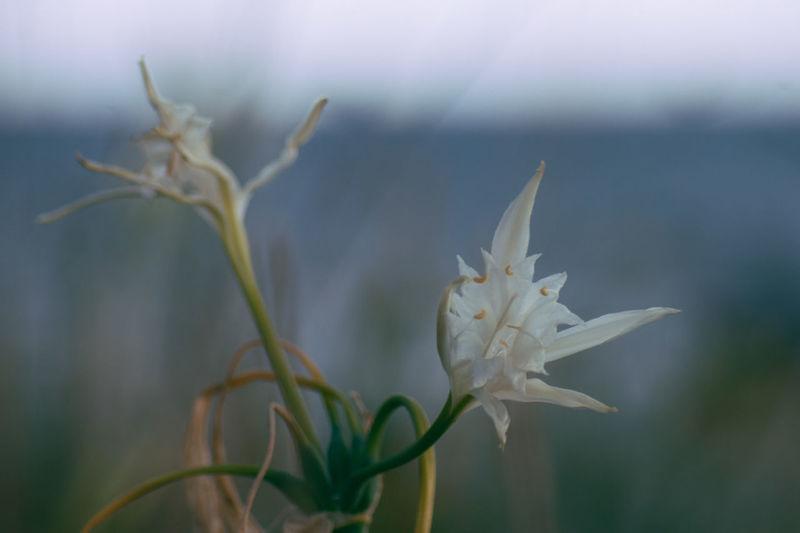 Sea lily (Pancratium maritimum L.) Colors End Of Summer Flower Flower Photography Flowerporn Flowers, Nature And Beauty Green Natural Beauty Nature Nature_collection Sea Lilium Sea Lily Wither Withered Beauty Withered Flower