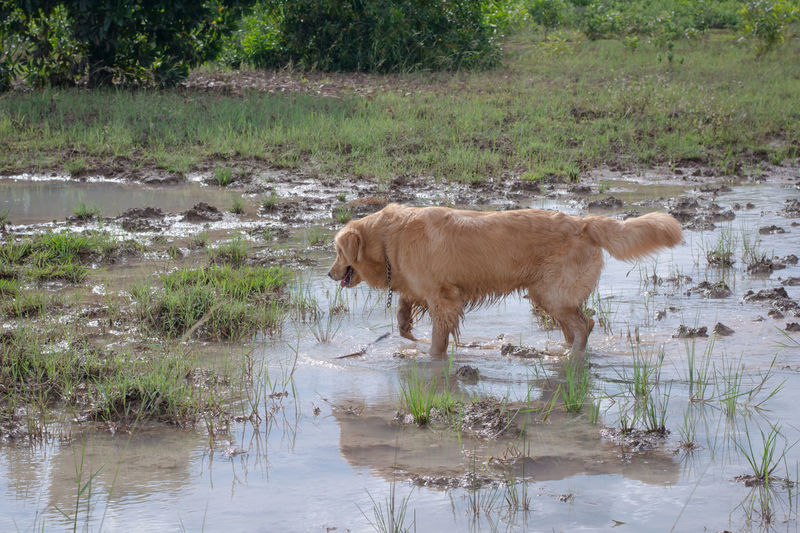 Fun golden retriever dog playing in the mud, Adventure Animal Ball Cooling  Countryside Cute Dirt Dirty Dog Domestic Forest Fun Golden Happy Heat Hike Look Mammal Messy Mud Muddy Nature Outdoor Outside Park Paws Pet Play Playful Portrait Puddle Pure Retriever Road Sitting Vertical Water Wet Yellow Animal Themes Plant Pets Waterfront