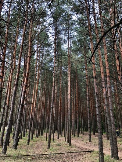 Moscow Abundance Bamboo - Plant Beauty In Nature Day Environment Forest Growth Land Low Angle View Nature No People Non-urban Scene Outdoors Pine Woodland Plant Scenics - Nature Tranquil Scene Tranquility Tree Tree Trunk Trunk WoodLand