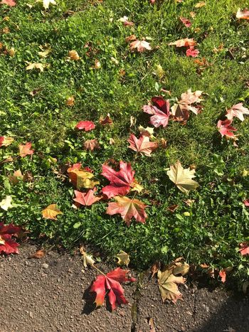 Leaf Autumn Nature Grass High Angle View Change Leaves Growth Flower No People Outdoors Day Field Fallen Beauty In Nature Green Color Fragility Plant Red No Effects Made With IPhone 7