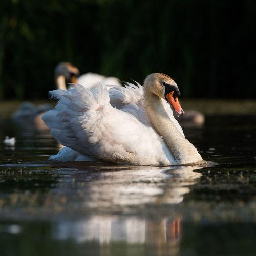 View of swan swimming in lake