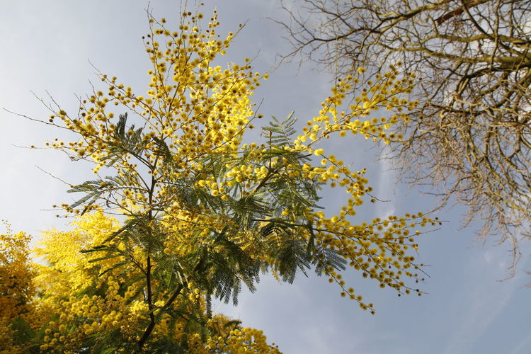 Yellow flowers 17.62° Yellow Flower Mimosa Mimosa Flowers Nature Photography Nature Flowers Of EyeEm Colours Of Nature Colours Of Winter Beautiful Nature Beauty In Nature Tree Branches Against The Sky Tree Branch Tree Area Leaf Plant Part Sky Treetop In Bloom Blooming