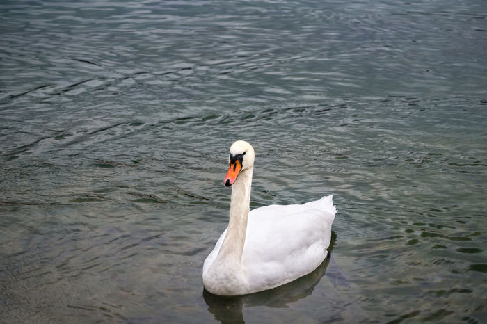 Beautiful Animals  Beautiful Nature Bird Photography Birds_collection Birdwatching Cloesup Eye4photography  EyeEm Best Shots EyeEm Nature Lover From My Point Of View Lake Lake View Lakeside Naturfotografie See Swan Swans Water Reflections Water_collection Urban Nature