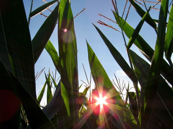 Sun Lens Flare Sunbeam Sunlight Low Angle View Growth Nature Sky No People Outdoors Day Plant Beauty In Nature Corn Corn Field Countryside Country Indiana MidWest Home