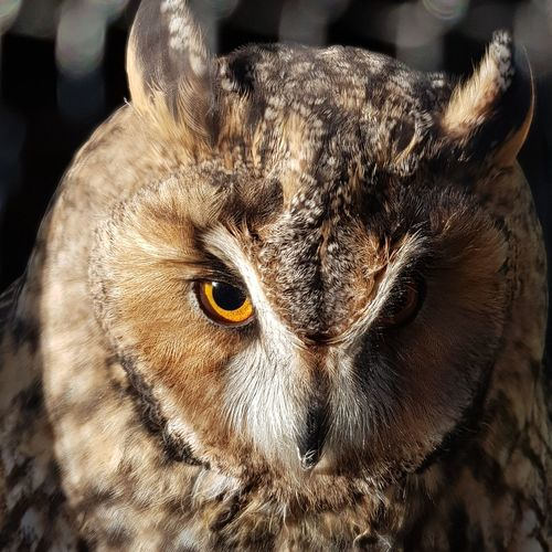 One Animal Close-up Outdoors Owl Eyes Short Eared Owl Wildlife Wildlife & Nature No People Animal Themes Mammal Day Portrait Nature