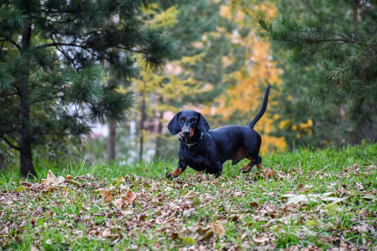 Some dog in a park Autumn Lowangle Day Pets Dog Dachshund