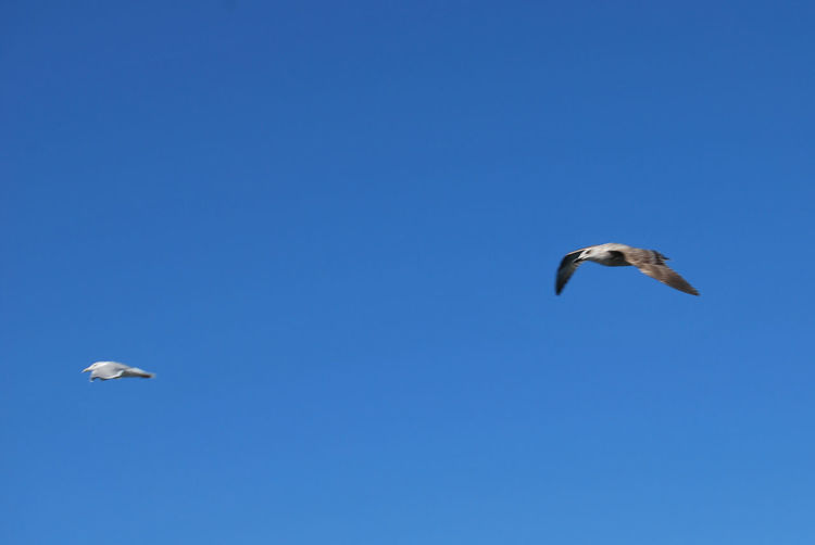 Animal Animal Behavior Animal Themes Animal Wildlife Animals In The Wild Bird Blue Clear Sky Copy Space Day Flying Full Length Low Angle View Mid-air Motion Nature No People One Animal Outdoors Sea Bird Seagull Spread Wings Stork Learning To Fly