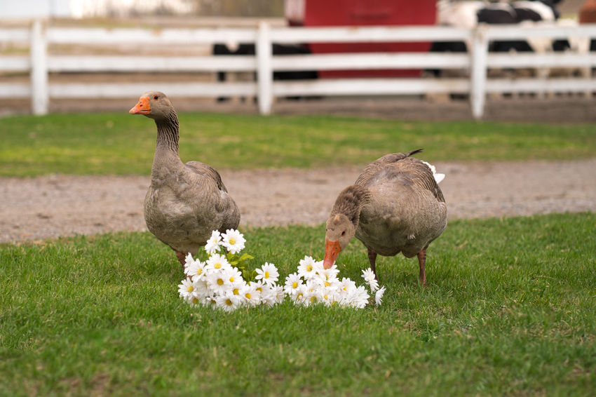 Geese Animal Animal Family Animal Themes Animal Wildlife Bird Day Domestic Animals Flower Flowering Plant Grass Group Of Animals No People Outdoors Plant Selective Focus