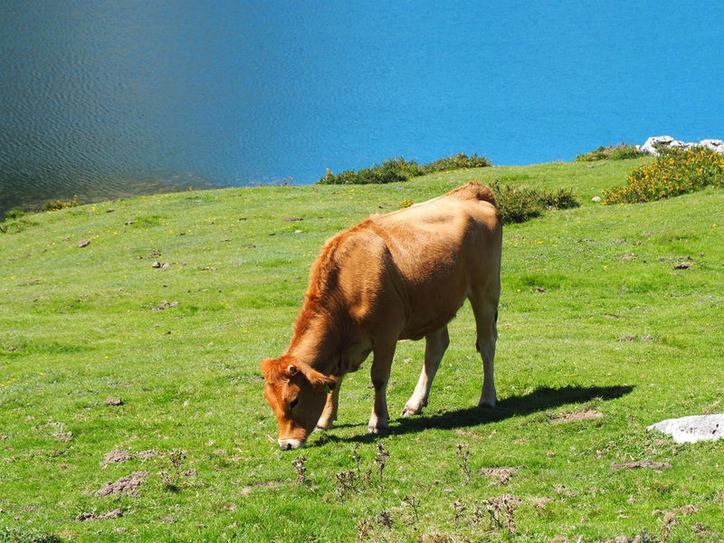 View of a brown cow in Covadonga Lakes, Asturias - Spain Asturias Farm Rural SPAIN Travel Animal Animal Themes Covadonga Cow Domestic Animals Enol Lake Farm Animal Field Grass Grazing Green Color Lago Enol Lakes  Landscape Livestock Mammal Nature No People One Animal Outdoors